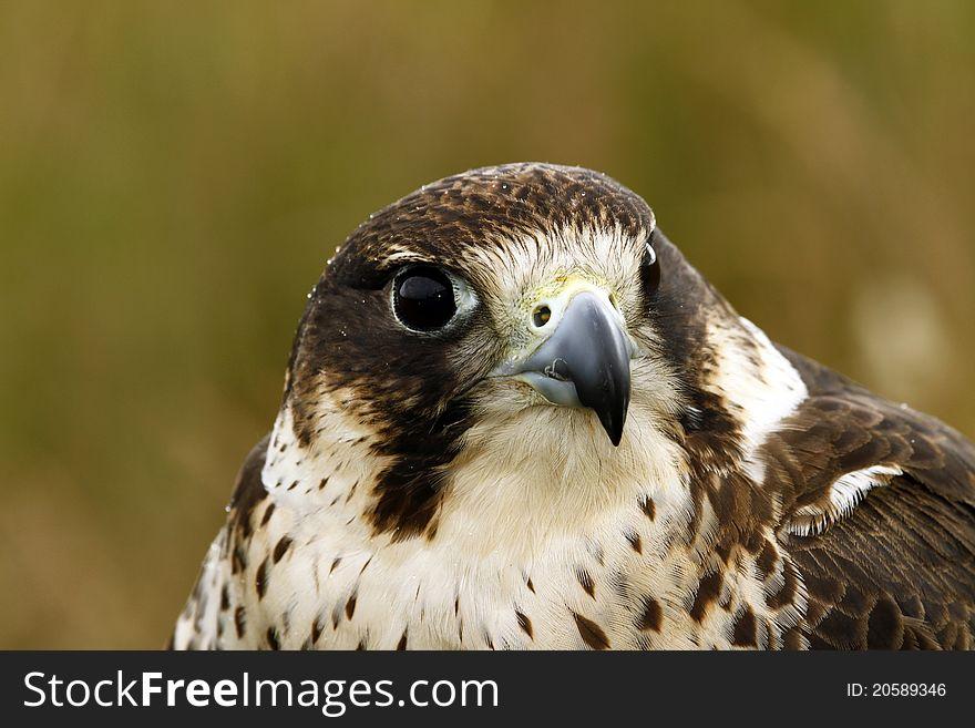 Head Study of a hybrid Peregrine/Saker Falcon.