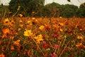 Free Yellow Flower Stock Photo - 20591920