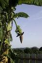 Free Green Banana Stock Photos - 20593043