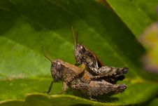 Free Mating Grasshoppers Stock Photo - 20592080