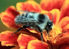 Free Bumblebee Royalty Free Stock Image - 20592116