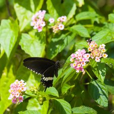 Common Mormon Butterfly Feeding On Lantana Royalty Free Stock Image