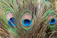 Free Eye Of The Peacock Tail Feathers Stock Photos - 20592223