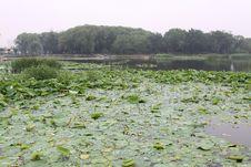 Free Lotus Leaves Royalty Free Stock Images - 20592529