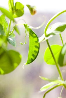 Free Green Pea Plant Stock Photography - 20593552