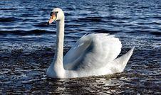 Free Swan Stock Photos - 20593893
