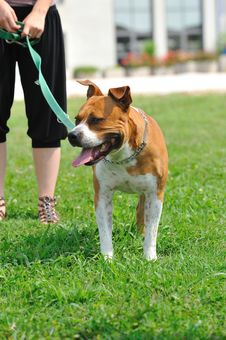Free Ferocious Dog On A Leash Royalty Free Stock Photo - 20595075