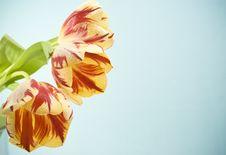 Free Red-yellow Tulips Stock Photos - 20595263