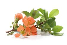 Free Flowering Quince Royalty Free Stock Photography - 20596617
