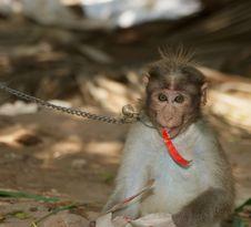 Free Monkey (macaque) Stock Image - 20597111