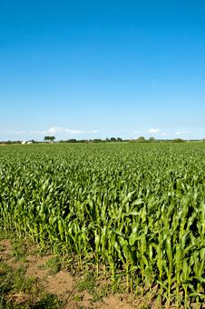 Free Green Maize Field Stock Images - 20597804