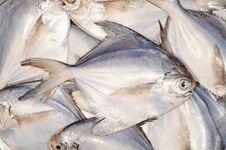 Free White Pomfret Fishes Stock Photos - 20599423