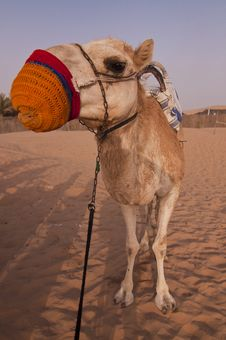 Free Cheeky Tied Up Camel Stock Images - 20599794