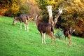 Free Blacktail Deer Royalty Free Stock Photo - 2069685