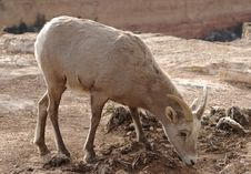 Free Goat Stock Images - 2060604