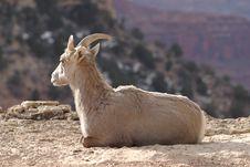 Free Goat Royalty Free Stock Image - 2060626