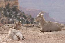 Free Goats Royalty Free Stock Image - 2060656