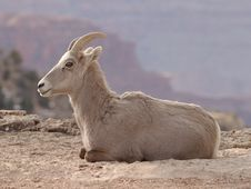 Free Goat Royalty Free Stock Images - 2060659