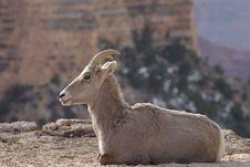 Free Goat Royalty Free Stock Photos - 2060688