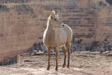 Free Goat Stock Photography - 2060692