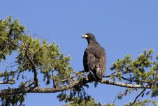 Free Young Eagle On Branch Stock Image - 2061901
