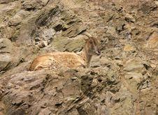 Free Goat Stock Photo - 2062760
