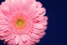 Free Pink Gerbera Royalty Free Stock Photo - 2066345