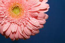 Free Pink Gerbera Stock Photography - 2066372
