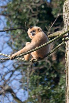 Free Siki Gibbon Stock Photo - 2066810