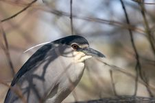Free Black-crowned Night Heron Royalty Free Stock Photography - 2066847