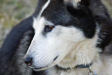 Free Siberian Husky Stock Photography - 2067062