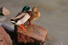 Free Duck Couple Royalty Free Stock Images - 2067179