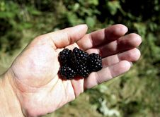Free Blackberries Stock Images - 2067964