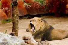 Free Lion Yawning Stock Photography - 2068062