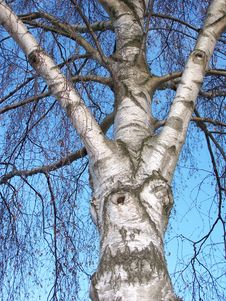 Free Birch Tree Stock Photos - 2069003