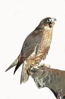 Free Peregrine Falcon Royalty Free Stock Photo - 2069485
