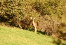 Free Blacktail Doe Looking Royalty Free Stock Image - 2069636
