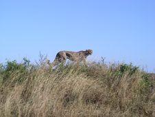 Free Cheetah Royalty Free Stock Images - 2069809