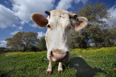 Free Staring White Cow Royalty Free Stock Photography - 2069877