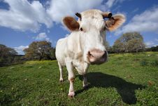 Free Funny Staring Cow Stock Images - 2069904