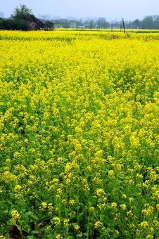 Free Rape Field Royalty Free Stock Photo - 2069955