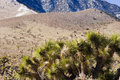 Free Joshua Tree And Snow-capped Mountains Royalty Free Stock Image - 20603226