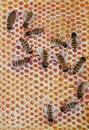 Free Bees Stock Photo - 20605020