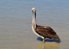 Free Brown Pelican Royalty Free Stock Image - 20600456