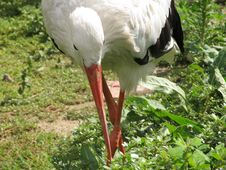Free White Stork Royalty Free Stock Images - 20600499