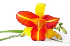 Free Red And Yellow Lily Stock Images - 20600694