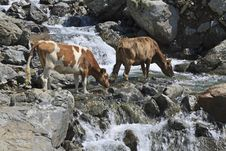 Free Cows Drinking From Mountain River Royalty Free Stock Photography - 20600987