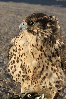 Free Falcon Royalty Free Stock Photography - 20602277