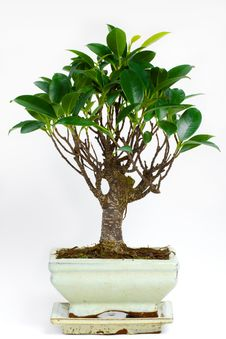 Free Bonsai Tree Stock Photography - 20603722