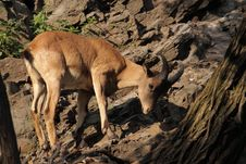 Free Goat Antelope In Rocks Royalty Free Stock Photos - 20604868